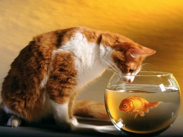 cica és aranyhal